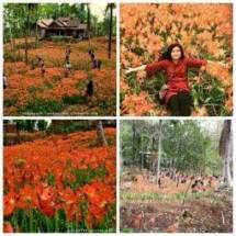 miris-taman-bunga-amarillys-yang-indah-di-pathuk-gunung-kidul-itu-rusak-di-injak-alay-er-02-pertamax7-com-1